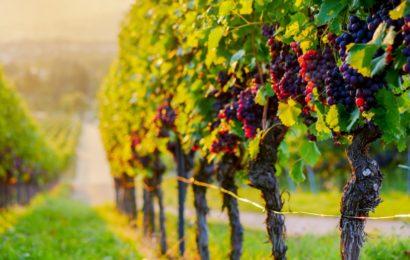 Le réchauffement climatique va-t-il faire disparaître le vin français?